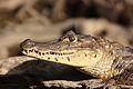 American crocodile Costa Rica.JPG