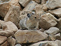 American pika (Citizen Science) (4428172158).jpg