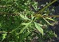 Ampelopsis aconitifolia kz05.jpg