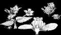Anagallis arvensis, Nordisk familjebok.png