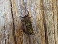 Andeabatis chilensis 1.jpg