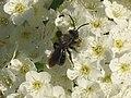 Andrena angustior 3.jpg