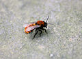 Andrena fulva 1.jpg