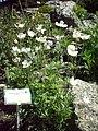 Anemone altaica RB.jpg