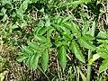 Angelica sylvestris subsp. sylvestris sl19.jpg