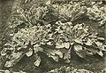 Annales du Jardin botanique de Buitenzorg (18382604926).jpg