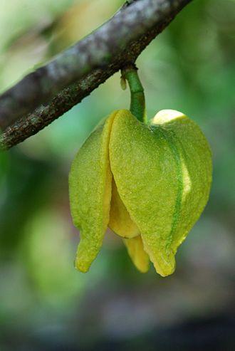 Soursop - A. muricata flower