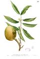 Annona reticulata Blanco1.197.png