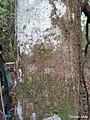 Annona salzmannii, araticum - Flickr - Tarciso Leão (1).jpg