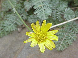Anthemis marschalliana 0.jpg