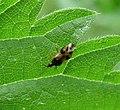 Anthocoridae. Anthocoris nemorum. Common Flower Bug (35896638626).jpg