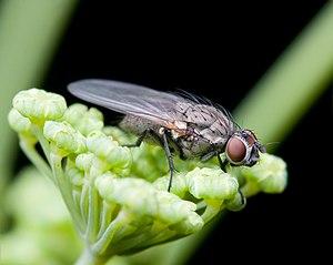 Anthomyiidae - Adia cinerella