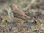 Anthus-rubescens-001.jpg