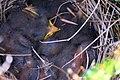 Anthus pratensis nest.jpg