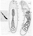 Antigonaria arenaria.jpg