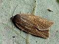 Aphelia viburnana - Bilberry tortrix - Листовёртка калиновая (43089773674).jpg