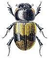 Aphodius coniugatus - Reitter.jpg