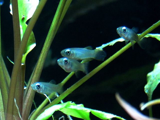 Norman's Lampeye Killifish - Small Freshwater Fish