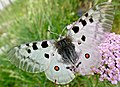 Apollo (Parnassius apollo) (35539873632).jpg