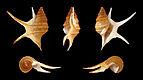 Aporrhais pesgallinae 01.JPG