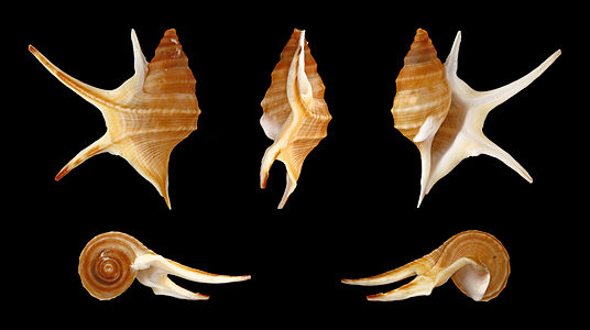 Five views of a shell of an African Pelican's Foot.