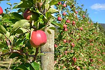 Tasmania-Soils-Apple orchard in Tasmania