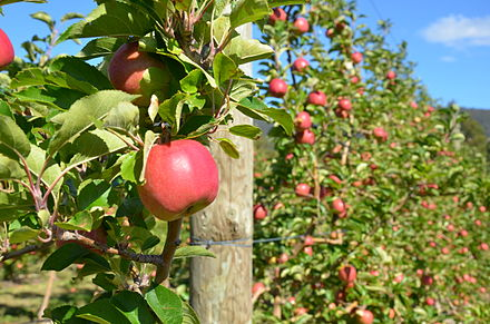 "An apple orchard in the ""Apple Isle"". Apple orchard in Tasmania.jpg"