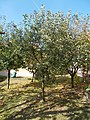 Apple tree, 2019 Etyek.jpg