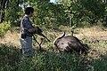 Approaching a Killed Cape Buffalo.jpg