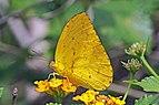 Apricot sulphur (Phoebis argante) male.jpg