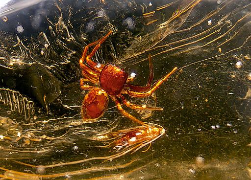 Araignée copal