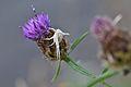Araignées, insectes et fleurs de la forêt de Moulière (Les Chirons Noirs) (28967994331).jpg