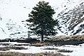 Araucaria araucana, Reserva Nacional Malalcahuello.jpg