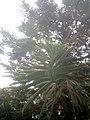 Araucaria columnaris, Coral Reef Araucaria tree at Amravati, Maharashtra, India1.jpg
