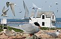 Arctic Tern From The Crossley ID Guide Eastern Birds.jpg
