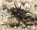 Arctosa.japonica.female.-.tanikawa.jpg
