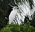 Ardea alba at New Smyrna Beach - Flickr - Andrea Westmoreland.jpg