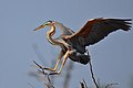 Ardea purpurea -Lake Baringo, Rift Valley, Kenya-8.jpg