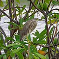 Ardeola grayii, Indian pond heron .jpg