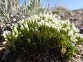 Arenaria hookeri (7273595700).jpg