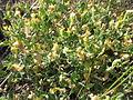 Aristolochia pistolochia habito.jpg