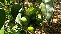 Artabotrys odoratissimus fruit.jpg