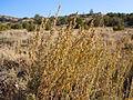 Artemisia nova (5041673395).jpg