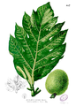 Artocarpus camansi Blanco2.457.png
