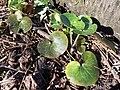 Asarum europaeum subsp. europaeum sl11.jpg