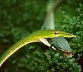 Asian Vine Snake (Ahaetulla prasina) eating a Green Anole (Anolis carolinensis) male (35652458363).jpg