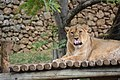 Asiatic lioness PikiWiki Israel 48094 Biblical Zoo in Jerusalem.jpg