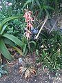Asparagales - Aloe somaliensis - kew 1.jpg