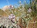 Astragalus andersonii (35216288981).jpg