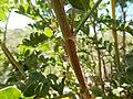 Astragalus bisulcatus (27587163495).jpg